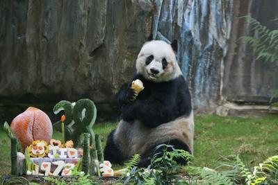 HONG KONG (CHINA).- Fotografía facilitada por Ocean Park que muestra a Jia Jia, el panda más longevo del mundo, en Hong Kong (China) el pasado 8 de agosto de 2016. El oso panda en cautividad más longevo del mundo, Jia Jia, murió el domingo por la noche en un parque de atracciones de Hong Kong a los 38 años, el equivalente a 114 años para un ser humano. La hembra fue sometida a la eutanasia después de que experimentara un rápido deterioro de su salud durante las últimas dos semanas, según explicaron en un comunicado responsables del parque hongkonés de entretenimiento Ocean Park. EFE