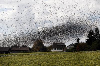 MONT-SUR-ROLLE (SUIZA).- Una nube de estorninos sobrevuela unos viñedos para comer las uvas en Mont-sur-Rolle, Suiza. Un día después de la cosecha de uva, multitud de aves se alimentan en los viñedos antes de dirigirse hacia el sur. EFE