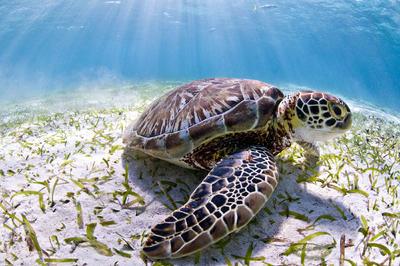 GU2006. BELICE, 18/10/2016.- Fotografía sin fecha cedida hoy, martes 18 de octubre de 2016, por el Fondo Mundial para la Naturaleza (WWF) de una tortuga verde, una variedad en peligro en Belice. El Fondo Mundial para la Naturaleza (WWF) denunció hoy que Belice tiene previsto iniciar este jueves una exploración de petróleo en sus aguas del mar Caribe, justo a un kilómetro de la Reserva de Barrera Arrecifal, declarada en peligro por la UNESCO. EFE/Antonio Busiello WWF/ SOLO USO EDITORIAL