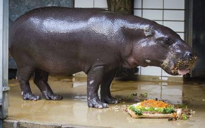 STUTTGART (ALEMANIA).- Hannibal, el hipopótamo pigmeo come su tarta por su 50º cumpleaños en el zoológico Wilhema de Stuttgart, Alemania. Hannibal ha batido el récord cumpliendo los 50 años de edad ya que su especie no suele superar los 30 años. EFE