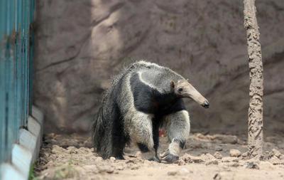 LIMA (PERÚ).- Un ejemplar de oso hormiguero gigante hembra camina en el parque zoológico de Huachipa, en Lima (Perú). El zoológico limeño de Huachipa presenta por primera y única vez juntos a las tres especies de osos hormigueros que existen en el planeta: los osos gigantes, los tamandúas y los pigmeos, llamados serafines del platanal. EFE