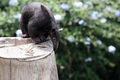 LIMA (PERÚ).- Un ejemplar de oso hormiguero tamandúa permanece en la base de un árbol, en el parque zoológico de Huachipa, en Lima (Perú). El zoológico limeño de Huachipa presenta por primera y única vez juntos a las tres especies de osos hormigueros que existen en el planeta: los osos gigantes, los tamandúas y los pigmeos, llamados serafines del platanal. EFE