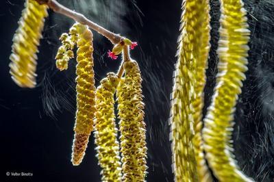 LONDRES (REINO UNIDO).- Fotografía facilitada por Wildlife Photographer of the Year del fotógrafo italiano Valter Binotto, ganador del Premio de Fotografía Vida Silvestre (Wildlife Photographer Of The Year), muestra cómo el viento desprende el polen de las flores de un avellano bajo la luz del sol en un día de invierno. El avellano fotografiado se encuentra cerca de la casa del fotógrafo italiano, un árbol que posee tanto flores macho como hembra. Son precisamente estas últimas las que seducen a los insectos para que se posen en ellas. Las flores se abren a principios de año, incluso antes de que nazcan las hojas en las ramas del árbol, y desprenden montones de polen que es arrastrado por el viento. La parte más difícil de la fotografía fue capturar las flores hembras, de color rojo, completamente estáticas mientras los amentos aparecen en movimiento al compás del viento. Para ello, Binotto utilizó una larga exposición con un reflector para resaltar los amentos. EFE