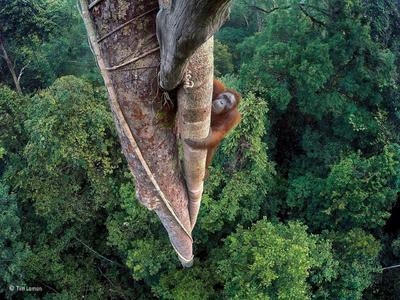 LONDRES (REINO UNIDO).- Fotografía facilitada por Wildlife Photographer of the Year del fotógrafo estadounidense Tim Laman, ganador de Estados Unidos del Premio de Fotografía Vida Silvestre 2016 (Wildlife Photographer Of The Year), que muestra un orangután encaramado a un árbol de 30 metros en busca de higos en la selva de Gunung Palung en Borneo (Indonesia). El fotógrafo sabía que el animal regresaría, por lo que se dedicó, durante tres días, a colocar diferentes cámaras GoPro a distintas alturas del árbol con la única ayuda de una cuerda hasta que consiguió capturar el ángulo deseado del orangután trepando por el árbol con la selva de fondo. EFE