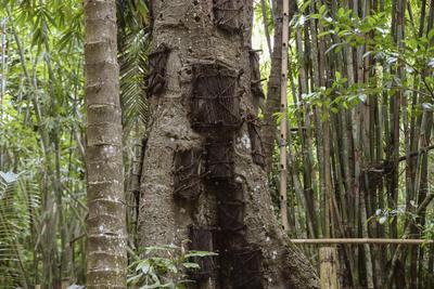 """RANTEPAO, INDONESIA.- Fotografía facilitada por Joaquín Barata, de uno de los árboles de savia lechosa que son utilizados por la población de Tana Toraja (Indonesia) para enterrar a los niños que mueren antes de que les crezcan los dientes, ya que según la tradición lograrán crecer hacia el mundo de sus ancestros. Forma parte de las tradiciones animistas """"Aluk To Dolo"""", donde """"el 90% de la vida gira en torno a la muerte"""", y los funerales se prolongan durante dos semanas, en las que se incluyen peleas de búfalos, procesiones funerarias y sacrificios de búfalos y cerdos, que determinarán el estatus de la familia. EFE"""