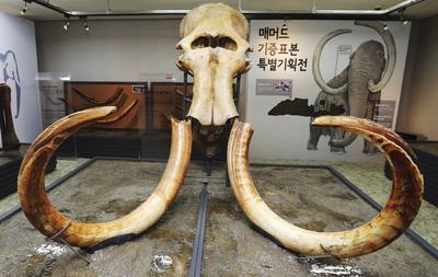 SEÚL (COREA DEL SUR).- El cráneo y cuernos de un mamut son expuestos en el Natural Monument Center en Daejeon al sur de Seúl en Corea del Sur. El director del Museo de Paleontología de la prefectura japonesa de Nagano, Park Hee-won, donó el ejemplar a su país de origen en noviembre del año pasado. Park Hee-won localizó el mamut en Siberia en una excavación que él mismo financió. EFE