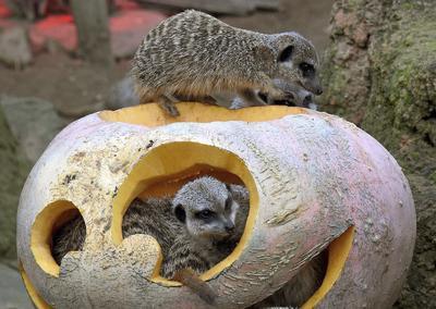 HANOVER (ALEMANIA).- Unas suricatas se entretienen con una calabaza decorada con motivos de Halloween en el zoo de Hanover, Alemania. EFE