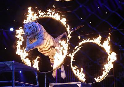 Tigre cruzando aros de fuego.