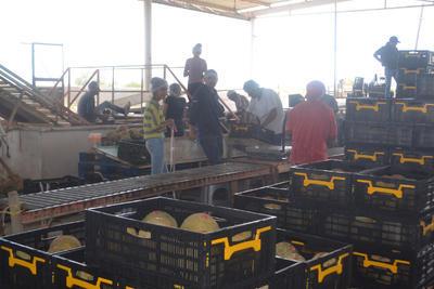 Las productoras de melón, quienes tienen un importante contrato con una cadena comercial nacional, terminaron sin luz, lo que los obligó a trabajar a marchas forzadas para tratar de cumplir con las toneladas de melón solicitadas.