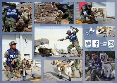 A lo largo de sus cinco años como binomio canino, Frida también ha sido enviada al extranjero a ayudar a otros que lo necesitan y ha participado en operaciones de rescate en zonas de desastre en países como Ecuador, Honduras y Haití.