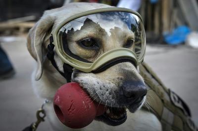 Frida es una perrita de raza labrador que pertenece a la Unidad Canina de la Secretaría de Marina de México.
