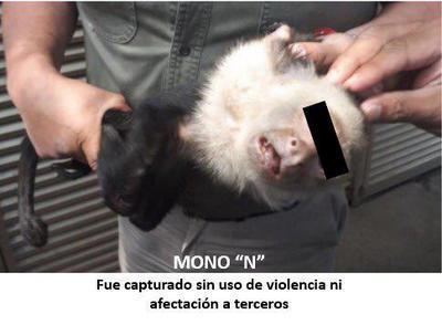"""El funcionario federal añadió: """"En estos momentos en el Zoológico de Chapultepec el mono Capuchino es revisado por médicos veterinarios""""."""