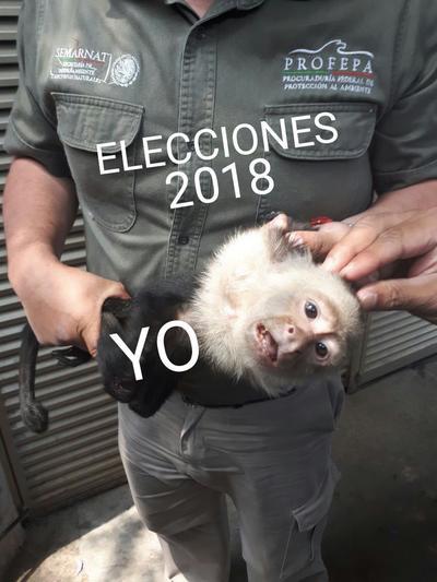 El 27 de marzo, el mono capuchino fue ubicado en las copas de los árboles de Lomas de Chapultepec, pero debido a que ingresó a un domicilio particular, no pudo ser capturado.