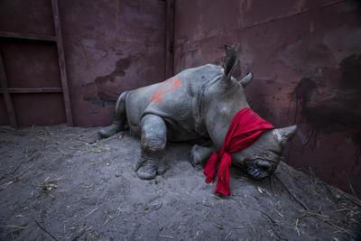 """Por el fotógrafo Neil Aldrige, ganador del primer premio de la categoría """"Environment - Singles"""". Muestra a un joven rinoceronte blanco del sur, drogado y con los ojos vendados, a punto de ser liberado en la naturaleza en el delta del Okavango, Botsuana"""