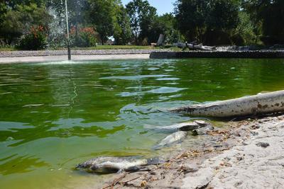Mueren cientos de peces en lago del Parque Fundadores