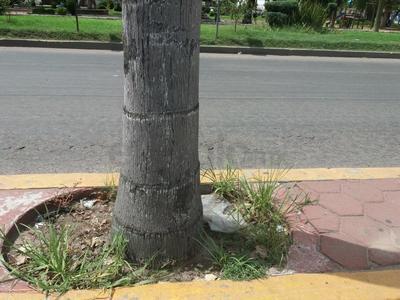 Camellón del bulevar Dolores del Río. Prácticamente todas las palmeras que está ahí tienen basura, urge acudir a limpiarlas. (EL SIGLO DE DURANGO)