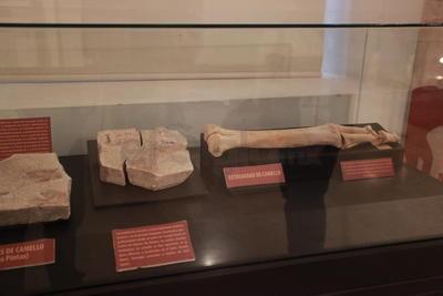 El mamut, del cual su esqueleto está en exhibición, se prevé que tenía un peso de entre ocho y 10 toneladas y una edad de aproximadamente 20 años por lo que era un mamut adulto joven.