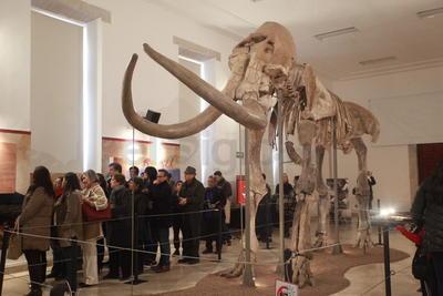 De acuerdo a la paleontóloga Cindy Sandoval Mora, este mamut está compuesto por 132 piezas de las cuales 120 son las originales y 12 de ellas está recreadas.