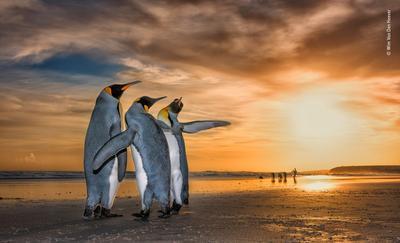 Pingüinos, por Win Van Den Heever Bence.