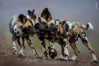 Tres crías de hienas por Bence Mate.