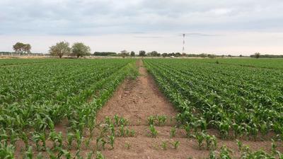 Dentro del plan de riego para este Ciclo Agrícola 2018-2019, en lo que corresponde a alfalfa, será una superficie de 5 mil hectáreas, y de nogales de 6 mil, el algodón es el cultivo rector, con 15 mil.