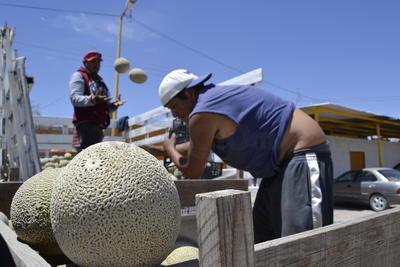 Según datos de la Dirección de Desarrollo Rural este año sembraron 950 hectáreas. Productores de melón estiman que cada hectárea puede dar de 50 a 60 toneladas de la fruta.