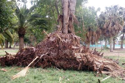 Descuido. Así  hay  varias secciones del bosque, llenos de basura vegetal y otro tipo de desechos. Esto se observa en el interior, donde además falta mantenimiento a palmas y otras especies verdes.