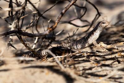 Un lagarto de cola de cebra se guarece en la sombra de varias ramas secas en las dunas de Mesquite.