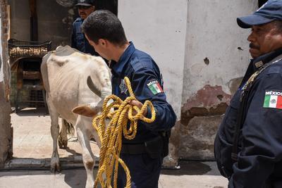 Desde el mediodía de este viernes, a través de redes sociales se difundieron diversos comentarios e imágenes de una vaca que deambulaba por diversas calles de la zona poniente de la capital duranguense.