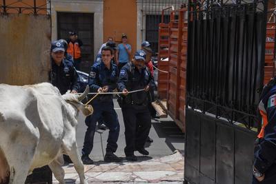 Se informó que la vaca fue liberada en Garabitos, de donde se identificó la marca de sus fierros de herrar.