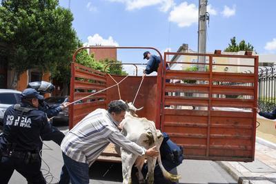 Los agentes de la Dirección Municipal de Seguridad Pública y el personal de Protección Civil aprovecharon su refugio para capturarla, ante el asombro y risa de decenas de transeúntes.