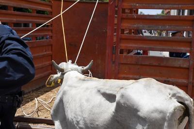 La vaca terminó por meterse a una casona donde se refugió en uno de los cuartos que lucía abandonado.