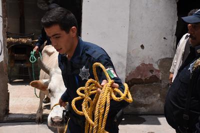 El tema pasó a tornarse en advertencia de precaución cuando la vaca se empezó a atravesar al paso vehicular sobre la calle Independencia