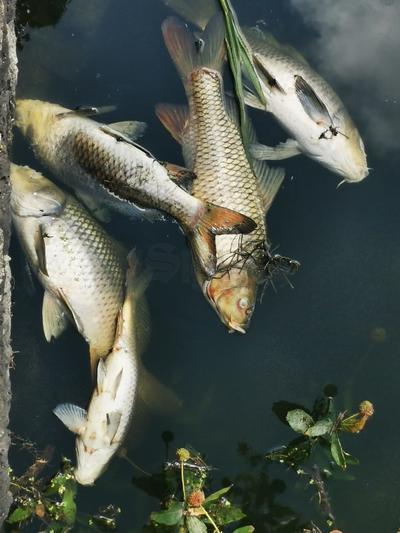 También la falta de oxígeno podría haber causado la muerte de los peces...