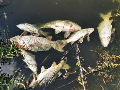 En dicho lugar aparecieron cientos de peces sin vida.
