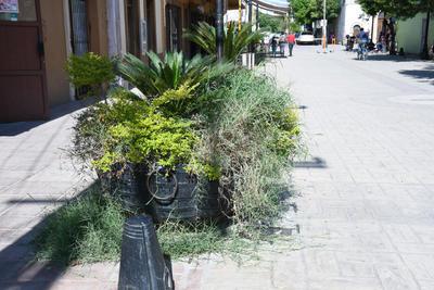 Sin mantenimiento. En algunos puntos, los maceteros se han visto rebasados por la vegetación que contienen, y además algunas de esas ramas se encuentran secas, por lo que solo dan un mal aspecto en el paseo peatonal del centro de ciudad Lerdo.
