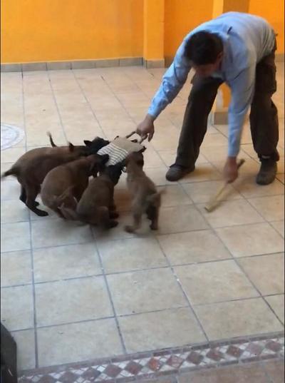 Omar Arreola Carrazco explicó que de los 3 a los 17 días de nacidos los canes se comienzan a adiestrar con estimulación temprana.