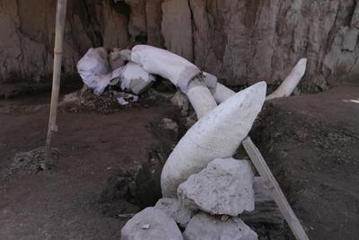 Hay evidencias de que los cazadores desarmaban por completo a los mamuts, mientras que a otros los destazaban por secciones anatómicas, enfatizó.