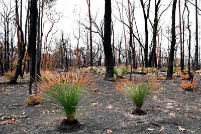 Crecen plantas en zonas carbonizadas de Australia