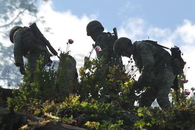 Fueron aproximadamente cinco hectáreas de la flor, utilizada para la elaboración de drogas sintéticas como la heroína.