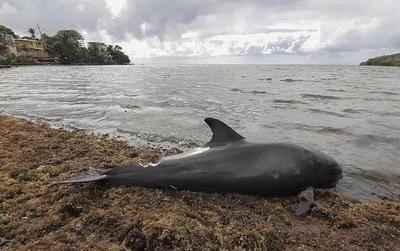 Los vecinos de la costa sudeste de Mauricio encontraron hoy, jueves, otros siete delfines muertos, que sumados a los 18 delfines y marsopas hallados ayer, eleva la cifra de mamíferos marinos fallecidos a 25 tras el desastre ecológico que causó el derrame de combustible del buque MV Wakashio.