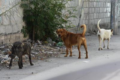 Peligro. Además de ser un foco de infección, la acumulación de desperdicios genera la concentración de animales callejeros, un peligro constante.