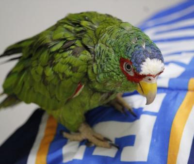 Poncho, el perico que ha hecho feliz a familia lagunera durante 32 años