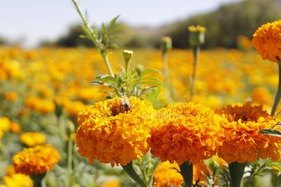 A pesar de mantener la tradición de esta siembra, las ventas se han visto afectadas por la pandemia de COVID-19. El año pasado sí se vendió, había más flor y sí se vendió bien; de aquí salió toda la flor. Ahora hay menos flor y por la contingencia creo que a lo mejor se va a quedar.