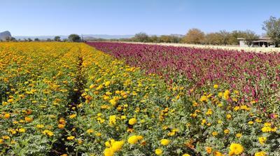 Se mantiene tradición de cultivar cempasúchil en zona rural de Lerdo