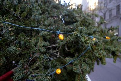 Llega a NY el tradicional árbol navideño del Rockefeller Center