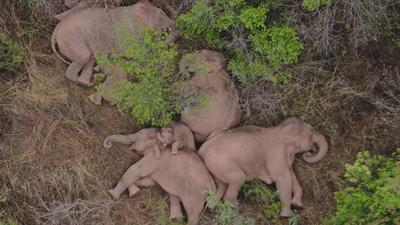 Excursión de elefantes caminando por China se vuelve viral