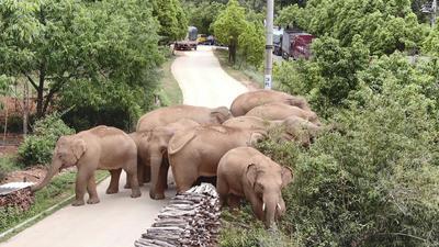 La prensa está siguiendo de cerca la excursión de una manada de elefantes de 500 kilómetros (300 millas) a lo largo de un año, desde su hogar en una reserva de vida silvestre en la provincia suroccidental de Yunnan, hasta las afueras de Kunming, la capital provincial.