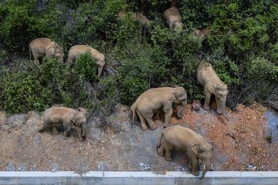 Los elefantes son tendencia desde hace días en el servicio de blogs chino Weibo. Las fotos de la manada durmiendo generaron 25,000 comentarios y 200 millones de visitas el lunes por la noche.