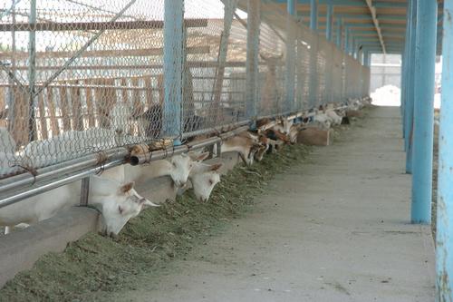 Ofrecen apoyo económico para los caprinocultores